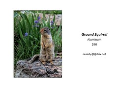 "Ground Squirrel • <a style=""font-size:0.8em;"" href=""https://www.flickr.com/photos/124378531@N04/43547406530/"" target=""_blank"">View on Flickr</a>"