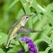 LA Zoo, local Hummingbird, pollen on beak, blurred DSC_0363