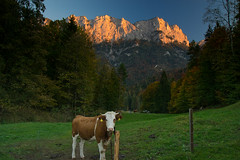 The cow and the alpenglow... (echumachenco) Tags: cow animal pasture field grass green tree forest evening sunset sky wall cliff face mountain peak mountainside outdoor landscape serene alps berchtesgadenerland berchtesgadeneralpen oberjettenberg bavaria bayern germany deutschland nikond3100 wood autumn fall autumncolors october