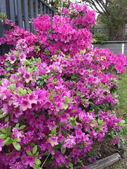The azaleas are having a party (csmramsden) Tags: azaleas