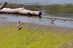 IMG_3763 (vyhphotography) Tags: canoneos80d kansas wichita animals arkansasriver river birds