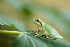 (Leela Channer) Tags: amphibian tree frog animal nature green mediterranean