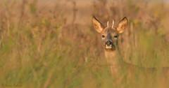 Young Buck (KHR Images) Tags: roe deer buck male wild mammal burwellfen cambridgeshire eastanglia wildlife nature nikon kevinrobson khrimages