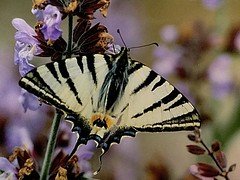 Nella salvia...Iphiclides podalirius (barbaracoccigatti55) Tags: farfalle macro fiori salvia