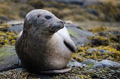 Common Seal (leafpeeker) Tags: dunvegan skye commonseal seal
