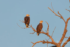 September 23, 2018 - A pair of Bald Eagles hangs out along the South Platte. (Tony's Takes)