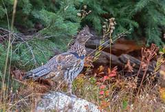 Grouse (scepdoll) Tags: chipmunk fall grandtetonnationalpark jackson jacksonhole jennylake moosepondstrail tetons wyomingtrumpeterswan aspens autumn colours deer grouse leaves