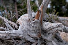 Cloudcap Overlook (Tony Pulokas) Tags: craterlake craterlakenationalpark lake oregon tilt blur bokeh forest tree pine whitebarkpine krummholz