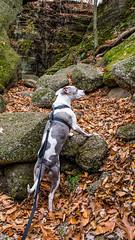 Juneau in Nelson-Kennedy Ledges State Park. (kevincarlvail) Tags: statepark ohio ohiostatepark nelsonledges nelsonkennedystatepark nelsonkennedy dog rescueddog juneau pitbull