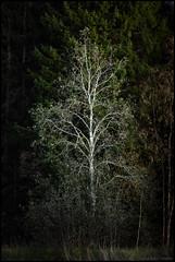 Natt (Jonas Thomén) Tags: natt night tree träd höst autumn fall forest skog woods