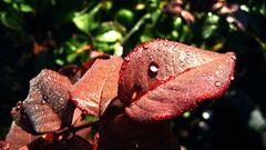 Morning dew. (ALEKSANDR RYBAK) Tags: роса капельки вода листья утро солнечный свет тень макро крупный план dew droplets water leaves morning solar shine shadow macro closeup