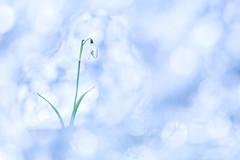 Le perce rêve. (SweeP_64) Tags: le perce rêve neige galanthus flore fleur flower macro proxi nature plante cyrille masseys 6ril