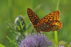 long-legged luncher (christiaan_25) Tags: greatspangledfritillary speyeriacybele butterfly lepidoptera wings spots orange black insect thistle flower wildflower prairie nature sunlight green