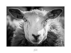 The Hypnotist (AnthonyCNeill) Tags: sheep ewe oveja ovine schaf mutton animal portrait face eyes black white schwarz weiss schwarzweis blanco negro noir blanc mono monochrome farmanimal visage gesicht