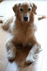 Sunny 40/52 (Lianne (calobs)) Tags: 52 weeks for dogs goldenretriever