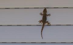 Gecko, Tarente de Maurétanie - IMG_7820 (6franc6) Tags: occitanie languedoc gard 30 milhaud septembre 2018 6franc6 vélo kalkoff vae