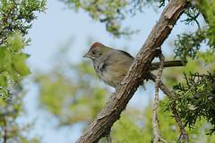 Green-tailed Towhee (2987) (Bob Walker (NM)) Tags: bird perching towhee treelimb greentailedtowhee gtto pipilochlorurus losalamos newmexico usa