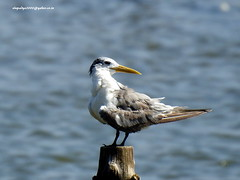 DSCN4205 Greater Crested Tern (Thalasseus bergii) (vlupadya) Tags: greatnature animal aves fauna indianbirds greater crested tern thalasseus kundapura karnataka