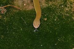 Plumbeous Water Snake (Gomen S) Tags: animal wildlife nature macro nikon 105mmmicro d500 sb500 asia tropical 2018 night autumn forest snake reptile
