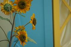 DSC09307- Sunshine Flowers (oliveplum) Tags: sunflowersurprisefloraldisplay leica60f28macro bokeh wall gardensbythebay flowerdome sony singapore
