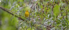 20170522-DSC_7122 (Corvid1) Tags: boggarden migratorybirds songbird yellowwarbler