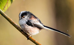 Gorgeous Ball of Fluff (Jim Roberts Gallery) Tags: longtailedtit birds gardens woods countryside gorgeous tiny adorable jimrobertsgallery jimroberts