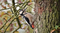 Great Spotted Woodpecker (doranstacey) Tags: nature wildlife birds great spotted woodpecker shillito wood woods woodland forest countryside peak district tamron 150600mm nikon d5300