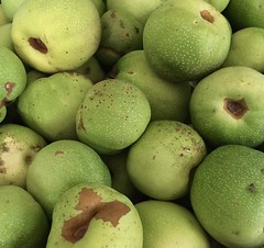 The Wrong Kind Of Quince (Dave 'FBI' Gibbons) Tags: quince fruit green malus cydonia garden home cook cooking kitchen produce tree harvest