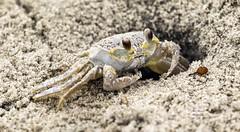 Ghost Crab. (rumerbob) Tags: ghostcrab crab seashore stoneharbornj stoneharbor wildlife wildlifephotographer wildlifewatcher nature naturewatcher naturephotography animal crustacean canon7dmarkii canon100400mmlens