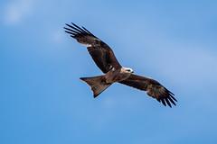 _D502578 (crispiks) Tags: nikon d500 70200 f28 barnawartha north east victoria birdlife