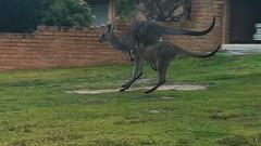 View street Roos 13th October 2018 (Mark Hollander) Tags: merimbula kangaroo animal australia