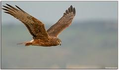Swamp Harrier (Mykel46) Tags: bif nature wildlife sony a9 100400mm flight raptor kite harrier outside sky outdoor outdoors