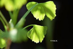 If it hurts, it means something to you. (heikecita) Tags: gingko makro macro grün green plant pflanze nikond7200 nature natur
