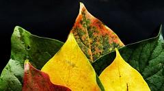 Foliage (Luc1659) Tags: fogliame foglie colors green yellow red orange composizione garden fogliage light