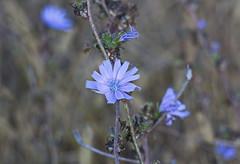Gemeine Wegwarte - Cichorium intybus  im Oktober (olds.wolfram) Tags: flower fleur blüten blume blau gemeine wegwarte cichorium intybus endivie zichorie sonnenwedel hanslamweg sonnenbraut wegeleuchte verwünschtejungfer