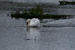 FnK (walter.innes) Tags: walterinnes forfarloch lochkinnordy swans marshharrier berries gadwals