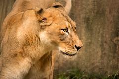 Somethings Going On 3-0 F LR 9-16-18 J141 (sunspotimages) Tags: animal animals nature wildlife lion lions femalelion femalelions zoo zoos zoosofnorthamerica nationalzoo fonz fonz2018