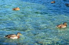 Ducks In The sun [Lopar - 27 August 2018] (Doc. Ing.) Tags: 2018 rab croatia otokrab rabisland happyisland kvarner kvarnergulf summer mediterraneansea adriatic lopar nikond5100