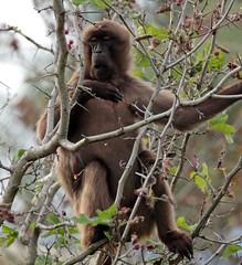 Gelada Blijdorp 094A0291 (j.a.kok) Tags: baboon baviaan roodborstbaviaan gelada africa animal afrika aap mammal monkey primate primaat blijdorp zoogdier dier blijdorpzoo