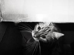 Le carton. (LACPIXEL) Tags: carton merlin chat cat gato box boîte caja cartón cajadecartón cardboardbox pet anilmal mascota roux ginger red rojo moustache bigote movil portable mobilephone mobile huawei p20pro flickr lacpixel noiretblanc blancoynegro blackandwhite