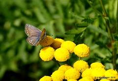 Blauwtje (ditmaliepaard) Tags: vlinder butterfly blauwte bloemen flowers opdefiets