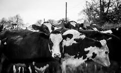 Hunderthwaite . (wayman2011) Tags: colinhart fujifilmxf50mmf2 fujifilmxt10 lightroom5 wayman2011 bw mono rural farming cows pennines dales baldersdale teesdale hunderthwaite countydurham uk