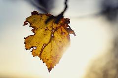 Autumn Leaf (*Photofreaks*) Tags: autumn fall harvest leaf leaves herbst herbstlich blatt blätter sunny sonnig golden warm colours farben dof bokeh yellow orange gelb trees baum bäume adengs wwwphotofreakseu essen ruhr ruhrgebiet germany deutschland baldeneysee lake gegenlicht