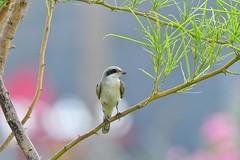 Shrike (RAMI SABER DAHMOUS) Tags: ramidahmous rami ramisaber nikond500 tamron g2 shrike birds birdwatching birding bird