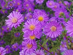 Bon dimanche (Marvinette (passe en free)) Tags: flore fleur fleurs flower flowers france composition bouquet macro mauve purple aster garden jardin october octobre androïd autumn automne plant plants plante nature