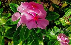 Vincas... En un jardín de Magdalena del Mar...⚘ (MariaTere-7) Tags: flores jardín magdalenadelmar lima perú mariatere7 vincas