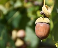 (:Linda:) Tags: germany thuringia village bürden oaktree acorn