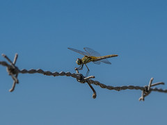 Dragonfly repairman (gadsbar) Tags: dragonfly fly insect insecto libelula barbed wire alambre blue sky wings eyes line fence field wildlife animal fauna nature spain doñana sanlucar olympusomd olympus telephoto 150mm