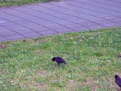 Starlings - Amsterdam Airport Schiphol (januszsl) Tags: animal zwierzęta ptaki ptak bird starling szpak star spreeuw étourneau thenetherlands nederland niederlande paysbas holandia northholland noordholland noardholland nordholland hollandeseptentrionale europa europe lotnisko airport flughafen aéroport haarlemmermeer netherlands