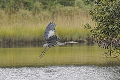 _A736382a (bram-sowers) Tags: rappahannockriver september 2018 warsawvirginia butterfly monarch moth yellowbelliedflycatcher blueheron chez marv persimmon sunset sonya7riii sonyfe100400mmgm
